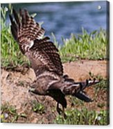 Red Tail On The Hunt Acrylic Print