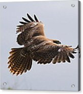 Red Tail Take Off Acrylic Print