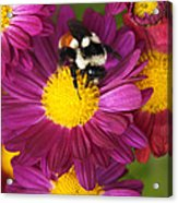 Red-tailed Bumble Bee Acrylic Print