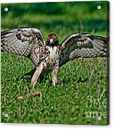 Red-tailed Hawk & Gopher Snake Acrylic Print