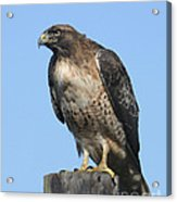 Red-tailed Hawk Monterey California  2008 Acrylic Print