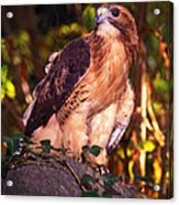 Red Tailed Hawk - 53 Acrylic Print