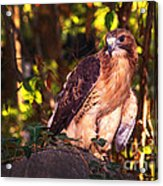 Red Tailed Hawk - 54 Acrylic Print