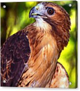 Red Tailed Hawk - 66 Acrylic Print