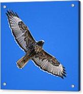Red-tailed Hawk Arizona Acrylic Print