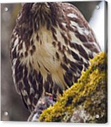 Red Tailed Hawk - Breakfast Close Up Acrylic Print