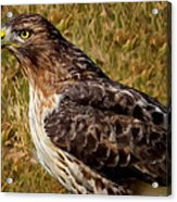 Red Tailed Hawk Close Up Acrylic Print