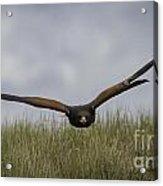 Harris Hawk Hunting Acrylic Print