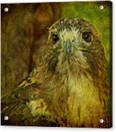 Red-tailed Hawk II Acrylic Print