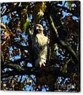 Red Tailed Hawk In Tree Acrylic Print