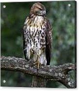 Red-tailed Hawk On Oak Acrylic Print