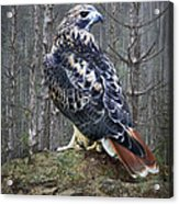 Red Tailed Hawk Perched On A Rock Acrylic Print
