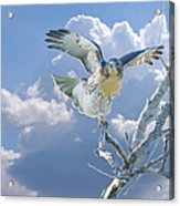 Red-tailed Hawk Pirouette Pose Acrylic Print
