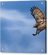 Red Tailed Hawk Soaring Acrylic Print