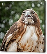 Red-tailed Hawk Square Acrylic Print by Bill Wakeley