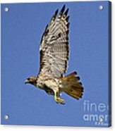 Red-tailed Hawk Takeoff Acrylic Print