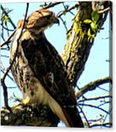 Red Tailed Interest Acrylic Print