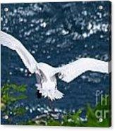 Red Tailed Tropic Bird Acrylic Print