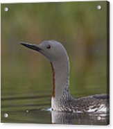 Red-throated Loon In Breeding Plumage Acrylic Print