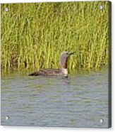 Red-throated Loon Acrylic Print