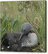 Red-throated Loon With Chick On Nest Acrylic Print