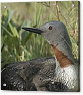 Red-throated Loon With Day Old Chicks Acrylic Print by Michael Quinton