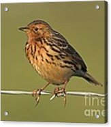 Red-throated Pipit On A Fence Acrylic Print