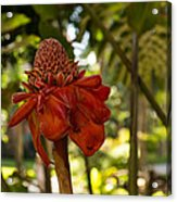 Red Torch Ginger Lily In Hawaii Acrylic Print