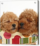 Red Toy Poodle Puppies Acrylic Print