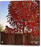 Red Tree At Sunset Acrylic Print