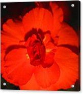 Red Tuberous Begonia Acrylic Print