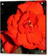 Red Tuberous Begonia Flower Acrylic Print
