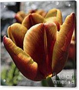 Red Tulip  2116 Acrylic Print