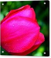 Red Tulip After The Rain Acrylic Print by Aya Murrells