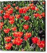 Red Tulip Bed Acrylic Print