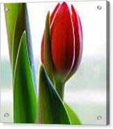Red Tulip Day 1 Acrylic Print