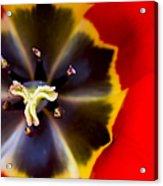 Red Tulip Macro Acrylic Print