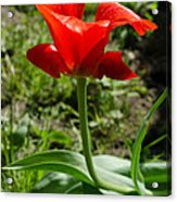 Red Tulip On The Green Background Acrylic Print
