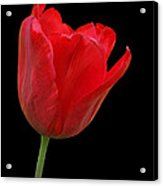 Red Tulip Open Acrylic Print
