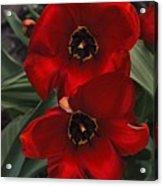 Red Tulip Pair Acrylic Print