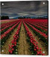Red Tulip Rows Acrylic Print