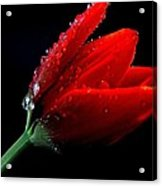 Red Tulip With Water Drops Acrylic Print