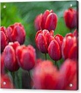 red tulips II Acrylic Print