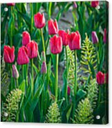 Red Tulips In Skagit Valley Acrylic Print