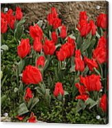 Red Tulips Acrylic Print by Maeve O Connell
