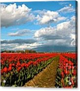 Red Tulips Of Skagit Valley Acrylic Print