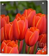 Red Tulips Outlined In Yellow Acrylic Print