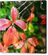 Red Viginia Creeper And Maple Leaves Acrylic Print