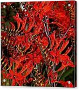 Red Devils Tongue Vine Vertical Acrylic Print