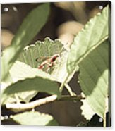 Red Wasp Acrylic Print